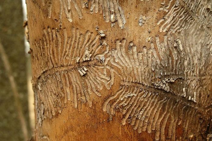O szkodliwej działalności drewnojadów