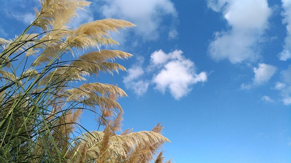 Czy widzieliśmy trawy pampasowe?